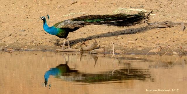 Peacock.copy.jpg